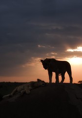 silhouetted  simba (jessica burkart) Tags: africa sun silhouette tanzania lion serengeti lioncubs settingsun