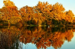 A Heron and a Swan (algo) Tags: blue autumn trees orange color heron water beautiful reflections reeds gold swan topf50 topv333 bravo colours lovely algo 50f infinestyle 101025