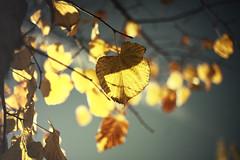 Un paso al frente... (oo Felix oo) Tags: autumn naturaleza nature yellow hojas nikon amarillo d700 felmar otyoo