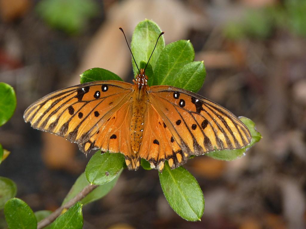 Gulf Fritillary Butterfly ~ Cummer Museum of Art & Gardens, Jacksonville, Florida