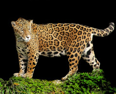 The Fractal Jaguar (Steve Wilson - classic view please) Tags: uk brazil england black beautiful up animal closeup blackbackground america cat photoshop zoo big amazon nikon rainforest feline close cheshire background wildlife south chester bigcat jungle swamp tropical plugin fractal endangered d200 predator rare carnivore wonderwall upton onblack on chesterzoo nikond200 fractalius caughall mygearandmepremium mygearandmebronze mygearandmesilver mygearandmegold mygearandmeplatinum mygearandmediamond mygearandmeplatinium 5wonderwall