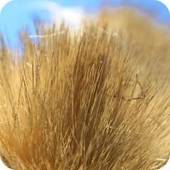 Golden (Sarah B in SD) Tags: california fall rural sandiego ramona picnik edit macromondays