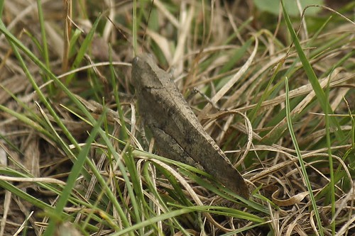 Carolina grasshopper (2)