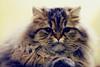 Filou3 (Lefort Johan) Tags: portrait cats baby cute cat kitten chat pentax johan mignon chaton persan lefort bestofcats k200d lefortjohan