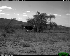 Ostrich (siwild) Tags: ostrich struthiocamelus largebirds mpala taxonomy:common=ostrich siwild:study=mpala siwild:studyId=mpalasets siwild:plot=oljogi geo:locality=kenya siwild:date=201001271536000 sequence:id=oljogiseq1507 taxonomy:group=largebirds siwild:location=mpala253 siwild:camDeploy=mpaladeploy702 siwild:trigger=oljogiseq1507 taxonomy:species=struthiocamelus file:name=img0021jpg file:path=dpt51cam9disc32aimg0021jpg sequence:length=6 sequence:index=6 siwild:imageid=kenyapic22124 siwild:region=kenya BR:batch=sla0620101118055537 sequence:key=3 geo:lon=0275875 geo:lat=37063624 siwild:species=198
