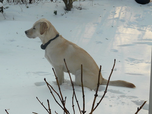 Nandi - yellow Labrador
