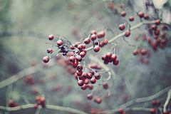 Ruby Tuesday (mickiky) Tags: autumn red plant tree nature rouge berry bokeh branches may natura ruby albero autunno bacche rosso rami pianta biancospino thorntree