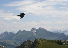 "choucas in flight alpine bgrd • <a style=""font-size:0.8em;"" href=""http://www.flickr.com/photos/30765416@N06/5187674790/"" target=""_blank"">View on Flickr</a>"