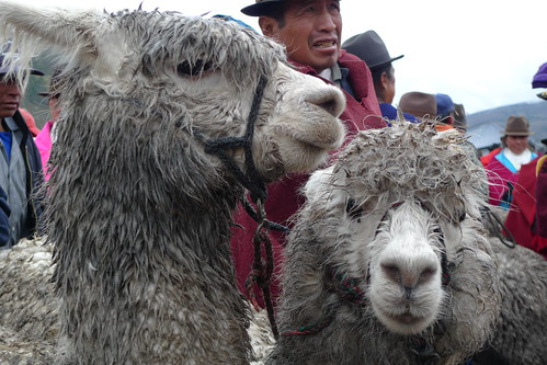 Alpacas - Thursday Market - Guamote, Ecuador