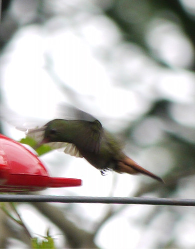 Kolibri i vår trädgård