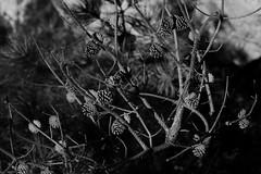 Pine Cones, Hanging Rock, NC
