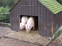 Tilgate Park - Pigs