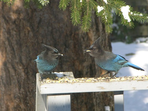 Two Steller's Jays, closer view