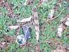 Accipiter nisus (Merintia) Tags: feather pluma identification eurasian sparrowhawk gavilán accipiter nisus identificación vogelfedern