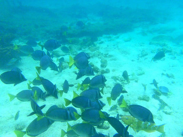 Group Of Yellowtail Surgeonfish