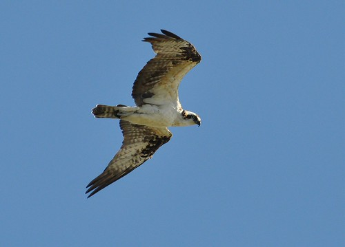 Pandion haliaetus ridgwayi - Caribbean Osprey - Balbuzard pêcheur -  29/01/11