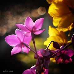 bokeh and backlighting #3 (e.nhan) Tags: flowers light flower closeup spring orchids bokeh backlighting enhan