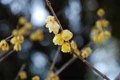 Wintersweet (azucargeminis (catching up slowly...)) Tags: park red flower yellow japan nikon chiba bud wintersweet d60 awesomeblossoms aobanomoriken anaturecanvas chimonanthuspraecoxconcolor