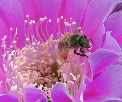 Bee in Desert Flower (csuzanne - off/on) Tags: pink macro closeup desert bee inset desertflower insectwithwings dailynaturetnc11
