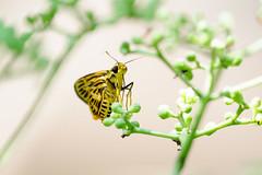 20170620-EM120207 (shutterblades) Tags: bukittimahnaturereserve butterflies hindhedenaturepark insect moth olympusem1mkii olympusmzuiko300mmf4pro