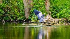 Héron - 3240 (YᗩSᗰIᘉᗴ HᗴᘉS +6 500 000 thx❀) Tags: fauna bird héron héroncendré heron water oiseau sauvage wild nature natural hensyasmine green vert