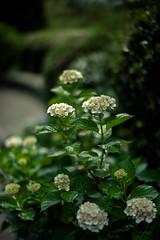 2017121 (gwagwa) Tags: flower green white hydrangea japan 50mm f095 mitakon