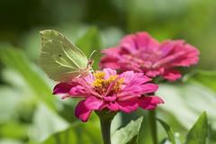 Brimstone Butterfly (picaddict) Tags: coliandinae gonepteryx lepidoptera pieridae zinniaelegans zinnie zitronenfalter pluwig rheinlandpfalz deutschland