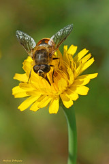 Bee on Dandelion (Darea62) Tags: bee dandelion taraxacum insect wildflower wildlife nature animal flower