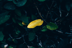 Leaf (AllukaBkk) Tags: leaf nature plant tree green individuality
