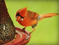 ~Now that's a mouthful~ (nushuz) Tags: bird red cardinal mrc feeder mouthfulofgrubs tryingtogetseedtofitalso greedy cute myyard vermont kindafunny