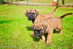 Puppy's Boerboel (Dream-Team Pictures) Tags: cute cuteness cutenessoverload puppy puppys grass xxx beast thebeast boerboel dogs puppydog puppyeyes eyes teefjes reutjes teef reu brown girls boys playing hugging sleeping