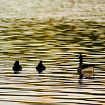 two ducks and a goose thumbnail