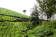 Munnar Tea Hills (Scott Norsworthy) Tags: plant mountains tree green estate tea kerala hills plantation western munnar ghats