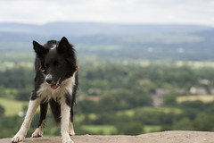 Dog on the Edge (Sam, W) Tags: cliff dog rock collie cheshire theedge bordercollie plain spud alderleyedge alderley canonef70200mmf40lusm cheshireplain canon400d