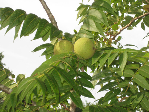 Foraging Texas: Black Walnut