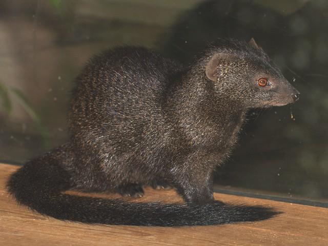 Galerella sanguinea - Schlankmanguste - Slender Mongoose