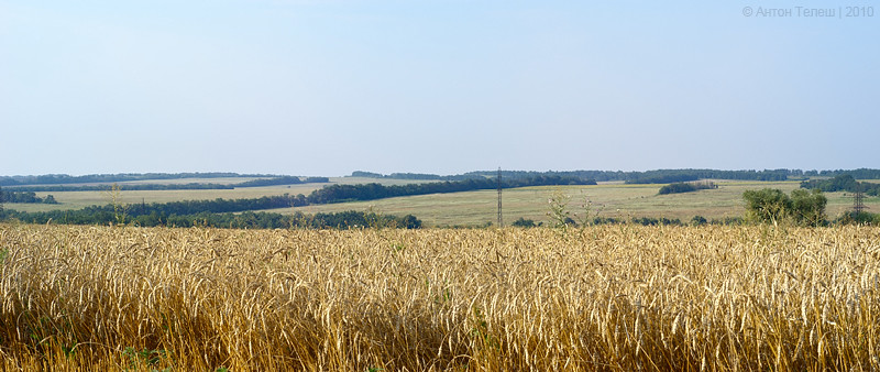 Wheat at the field
