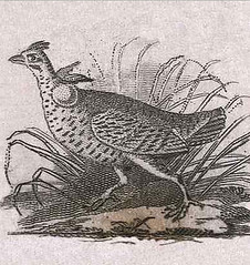 Audubon's Grouse