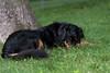 20100730-_DSC3673 (yhsellshortoo) Tags: puppy virginia backyard tango fallschurch hovawart sd9 fairfaxcounty broyhillpark sc28 sb900 ambercoasthovawarts rrsb91b