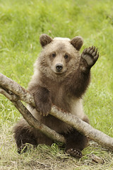 Grizzly Cub Waving Hello! (AlaskaFreezeFrame) Tags: alaska wildlife bears grizzly bearcub