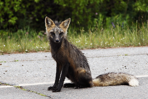red fox sitting. Wet Red Fox. Sitting on the