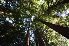 Redwood Majesty