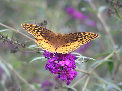 Great Spangled Fritillary (78spacecadet) Tags: great spangled fritillary