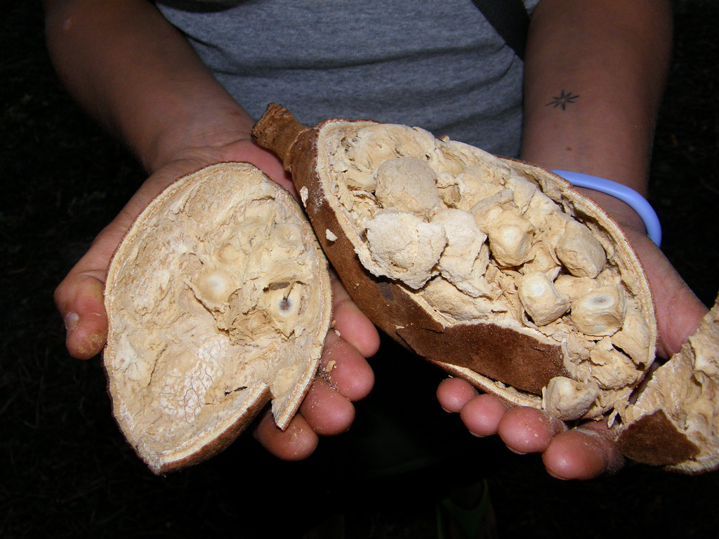 Baobab fruit split open