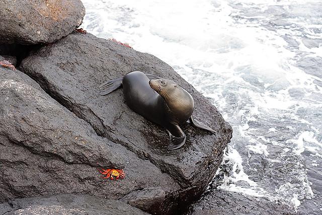 sea lion and sally lightfoot crab