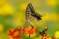 Papilio machaon (Mushimizu) Tags: butterfly papiliomachaon