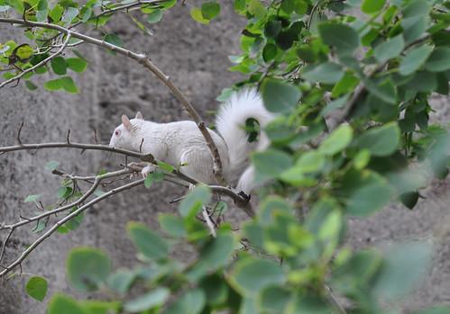 Rare Albino Squirrel