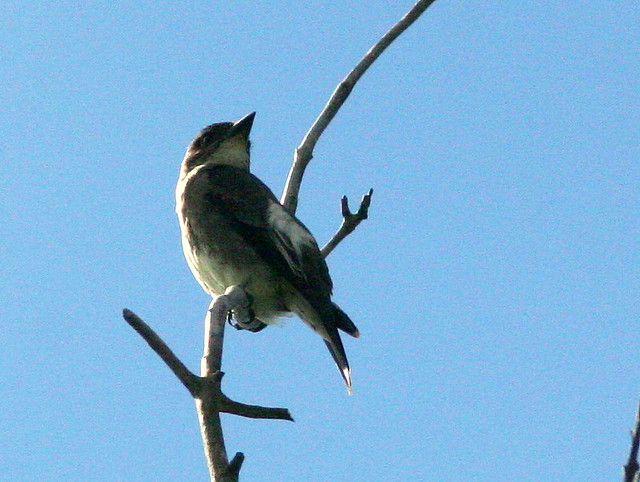 Olive-sided Flycatcher 4-20100904