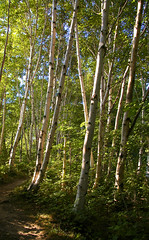 Light on Birches