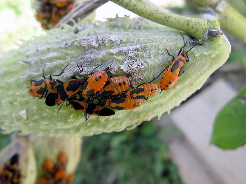 large milkweed bugs
